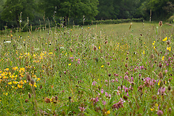 Meadow with red clover and bird's-foot trefoil