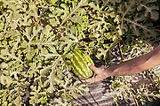 LOLLOVE Sardinia: Lollovers inn vegetable garden, Pietro Tolu  at work