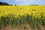 Rape seed crop field, grown for biofuel in The Cotswolds, England, United Kingdom