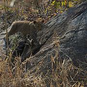 Leopard cub on rock. South Africa.  Leopard