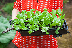 Carrying a tray of young lettuce plants ready to plant out - Lactuca sativa