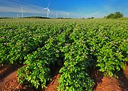 Potato field, red soil and wind turbines