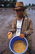 PEASANT FARMING, Malaysia. Peasant farmer with rice seed, in padi, Kedah  State. World Bank funded  project. Poor farmers, peasants, planting, harvesting, cultivating rice padi.