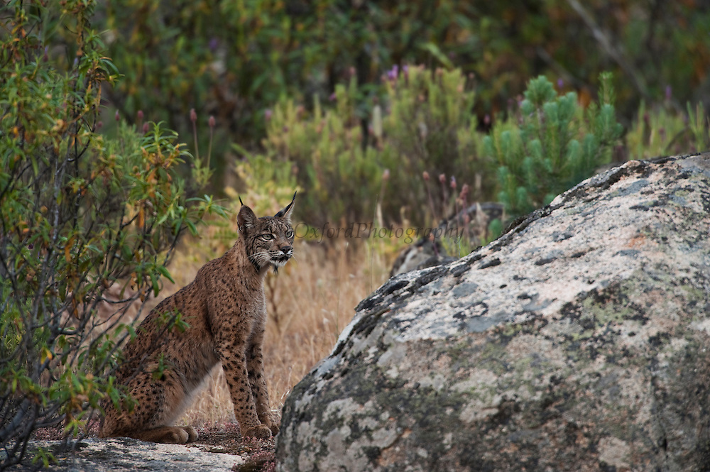 Iberian Lynx (Lynx pardinus) Male one year old who has recently lost his GPS collar.<br /> Sierra de Andújar Natural Park, Mediterranean woodland of Sierra Morena, north east Jaén Province, Andalusia. SPAIN<br /> RANGE: Iberian Penninsula of Spain & Portugal.<br /> CITES 1, CRITICAL - DANGER OF EXTINCTION<br /> Fewer than 200 animals in the wild. There is a reduced genetic variability due to their small population. They have suffered due to hunting, habitat loss and road accidents, but the most critical threat today is the reduced numbers of wild Rabbits (Oryctolagus cuniculus) within the lynx's range. The rabbits are the principal food source of the lynx and they are suffering from deseases such as Myxomatosis & Rabbit haemoragic virus. The lynx is also suffering from deseases such as feline leukaemia<br /> A medium sized cat weighing 12-15kgs, Body length 90cm, Shoulder height 45-50cm. They have a mottled fur pattern, (3 varieties of fur pattern found between the different populations and distinguishing them geographically)  short tail, ear tufts and are bearded. They are territorial cats although female cubs have been found to share their mother's territory. Mating occurs in Dec/Jan and cubs born around April. They live up to 13 years.<br /> <br /> Mission: Iberian Lynx, May 2009<br /> © Pete Oxford / Wild Wonders of Europe<br /> Zaldumbide #506 y Toledo<br /> La Floresta, Quito. ECUADOR<br /> South America<br /> Tel: 593-2-2226958<br /> e-mail: pete@peteoxford.com<br /> www.peteoxford.com