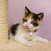 Cute calico kitten, Sloan, of cat Instagram Lennox and Sloan, Two Lucky Rescue Cats. Sloan sits atop her carpeted tan brown cat condo perch. Photo by Pet Photographer Mara Robinson Photography