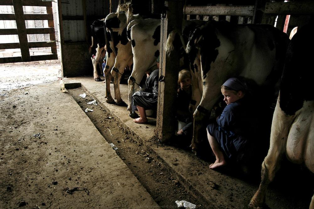 Traite des vaches. Les Petersheim possèdent 25 vaches qui produisent 190 litres de lait par jour. Pour leur production de lait, ils ont l'obligation de respecter les normes sanitaires établies par le gouvernement américain pour le nettoyage, le stockage et le transport. La laiterie est donc le seul endroit de la colonie a être alimenté en électricité.<br /> Les Petersheim, installés comté de Clark depuis quatre générations, ont onze enfants de 5 à 23 ans. Pendant l'été, alors qu'il n'y a pas école, tous prennent part aux activités quotidiennes de la ferme et des récoltes. Sur leur exploitation de 162 hectares, la taille moyenne d'une ferme Amish, ils cultivent de l'avoine, du blé, du maïs, du soja, du sorgo et du millet en suivant des techniques écologiques traditionnelles. Ils ont également 40 chevaux, 25 vaches et un petit élevage de poules et cochons.<br /> <br /> Petersheim's farm, milking time in the cattle barn. The Petersheim own 25 cows which produce 190 liters of milk per day. The Petersheim respect, for their milk production, the sanitary standards established by the US government for cleaning, storage and transportation. The dairy is thus the only place of the colony fed in electricity. The Petersheim, established in Clark county since four generations, have eleven children from 5 to 23 years old. During the summer, whereas the school is closed, all take part in the daily activities of the farm and with harvests. On their exploitation of 162 hectares, average size of an Amish farm, they cultivate oat, wheat, corn, soy beens, sorgo and millet following ecological techniques. They also have 40 horses, 25 cows and a small breeding of hen and pigs.