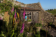 The National Trust's Gertrude Jekyll walled garden on Holy Island, on 27th June 2019, on Lindisfarne Island, Northumberland, England. The Holy Island of Lindisfarne, also known simply as Holy Island, is an island off the northeast coast of England. Holy Island has a recorded history from the 6th century AD; it was an important centre of Celtic and Anglo-saxon Christianity. After the Viking invasions and the Norman conquest of England, a priory was reestablished.