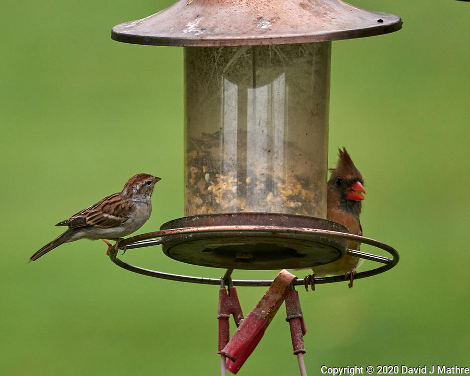 Song Sparrow, Northern Cardinal. Image taken with a Leica SL2 camera and Sigma 100-400 mm lens