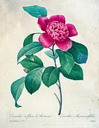 19th-century hand painted Engraving illustration of a Camellia Anemoniflora flower, by Pierre-Joseph Redoute. Published in Choix Des Plus Belles Fleurs, Paris (1827). by Redouté, Pierre Joseph, 1759-1840.; Chapuis, Jean Baptiste.; Ernest Panckoucke.; Langois, Dr.; Bessin, R.; Victor, fl. ca. 1820-1850.