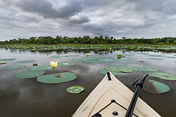 "Kayaking toward Greer Island through Flowering American lotus in Lake Worth, Fort Worth Nature Center, Fort Worth, Texas USA. Greer Island is the home of the famed Lake Worth Monster, or ""Goatman""."