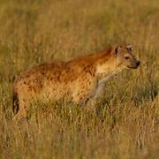 Spotted Hyaena (Crocuta crocuta) Serengeti National Park. Tanzania. Africa. February.