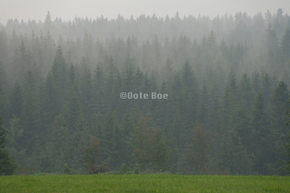 pine trees in the early morning fog Black Forest Germany