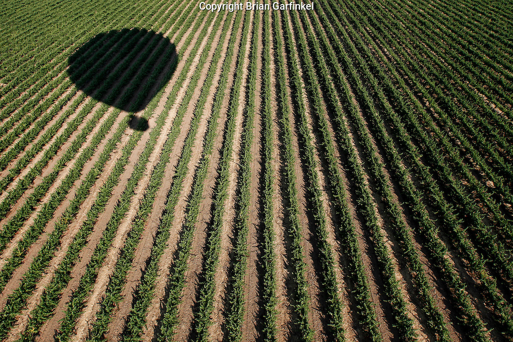 An aerial view of a vineyard during an Up & Away hot air balloon ride over Middletown, California on Saturday July 14th 2012. (Photo By Brian Garfinkel)