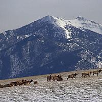 An elk herd grazes below the Bridger Mountains.