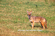 01864-033.07 Coyote (Canis latrans)  Starr Co. TX