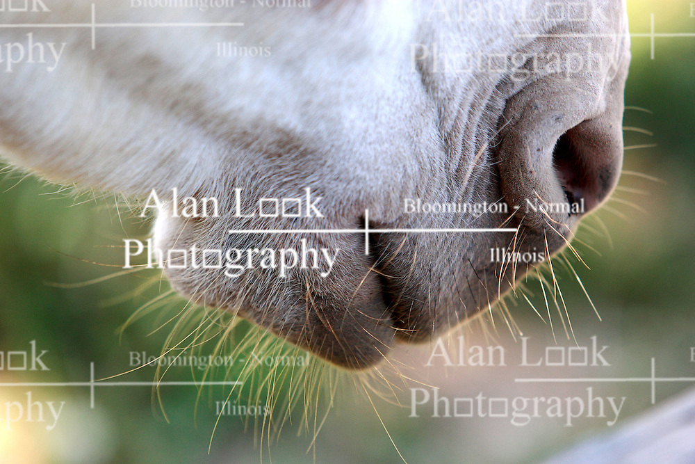 26 August 2008:  Mouth and nostrils of a miniature horse shows single strands of horsehair. (Photo by Alan Look)