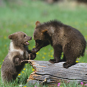 Two grizzly bear cubs playing on a log. Captive Animal