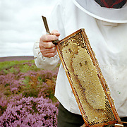 Wearing protective clothing, a beekeeper holds a piece of honeycomb from his beehives in amongst the purple heather on the North York Moors, North Yorkshire, UK