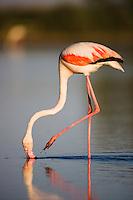 Greater Flamingo (Phoenicopterus roseus), feeding, Pont du Gau, Camargue, France