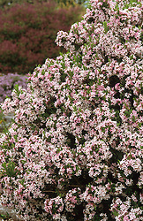 Daphne x burkwoodii 'Somerset'