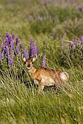 Pronghorn (antelope) in Habitat