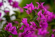Purple flowers of a Bougainvillea bush close up