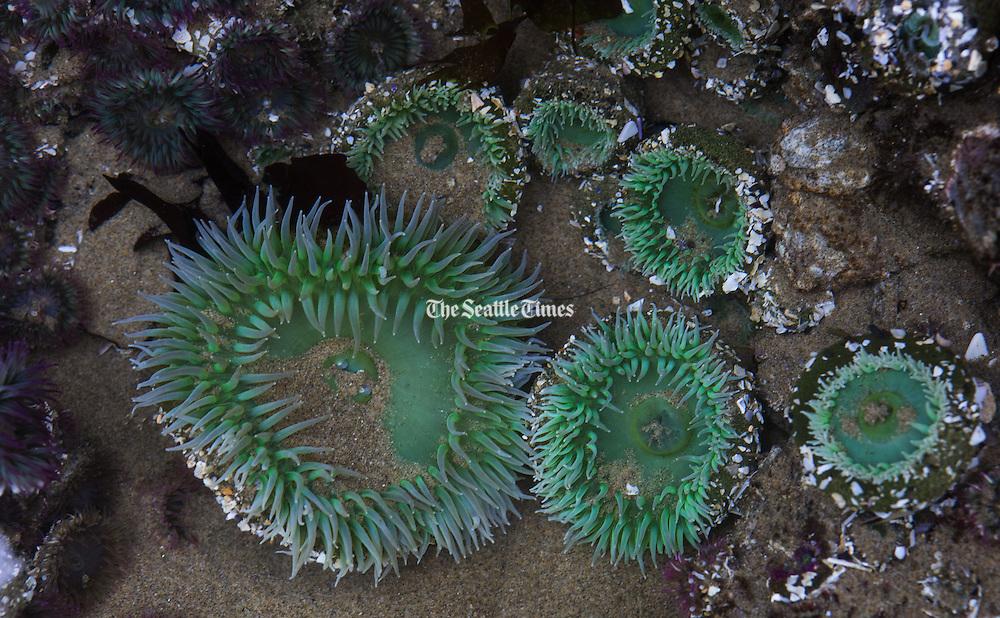 At low tide near Haystack Rock, vivid sea anemones blossom. (Ellen M. Banner/The Seattle Times)