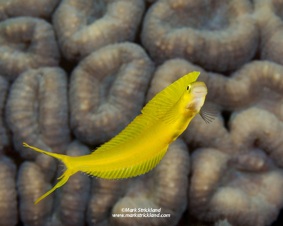 This slender beauty is the Fiji variation of Bicolor Fangblenny, Plagiotremus laudandus flavus. Sailstone Reef, Fiji, Pacific Ocean