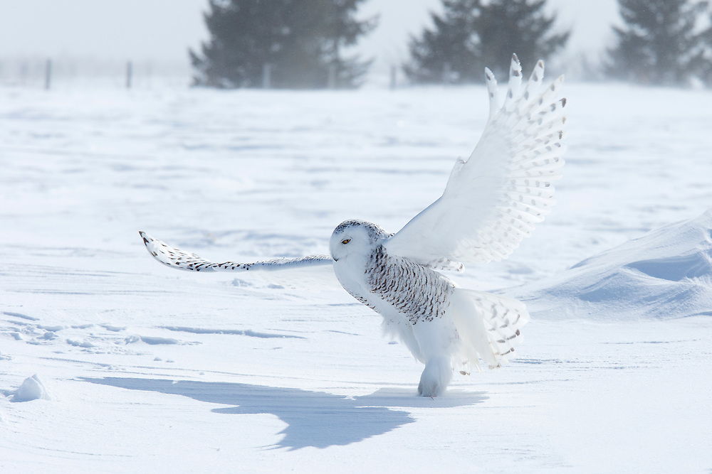 """Snowy owl hunting in the snow. <br /> <br /> Available sizes:<br /> 18"""" x 12"""" print <br /> 18"""" x 12"""" canvas gallery wrap <br /> <br /> See Pricing page for more information. Please contact me for custom sizes and print options including canvas wraps, metal prints, assorted paper options, etc. <br /> <br /> I enjoy working with buyers to help them with all their home and commercial wall art needs."""