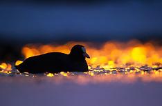 Ducks, Geese & Loons