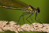 Banded Demoiselle (Calopteryx splendens), female, close-up of head and thorax. Pont-du-Chateau, Auvergne, France.