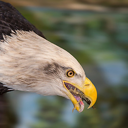 A bald eagle grabs some sushi for lunch