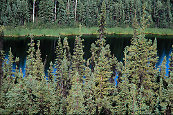 Spruce trees and Cloudberry Lake, Fairbanks, Alaska, US