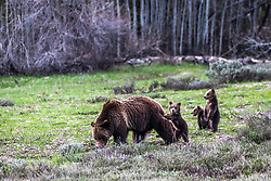 Grizzly 399 in Grand Teton National Park.<br /> <br /> Contact for custom print options or inquiries about stock usage  - dh@theholepicture.com