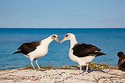 Laysan albatross, Phoebastria immutabilis, billing during courtship dance, Sand Island, Midway Atoll, Midway National Wildlife Refuge, Papahanaumokuakea Marine National Monument, Northwest Hawaiian Islands, USA ( North Pacific Ocean )