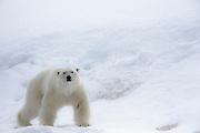 A polar bear (Ursus maritimus) walking in the snow, Spitsbergen, Northwest Coast of the Svalbard Archipelago, Norway