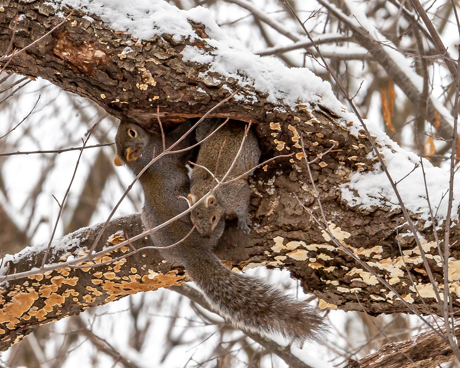 Squirrels competing for shelter in Gallistel Woods tree trunk on a winter's day. Photo taken January 13, 2020.