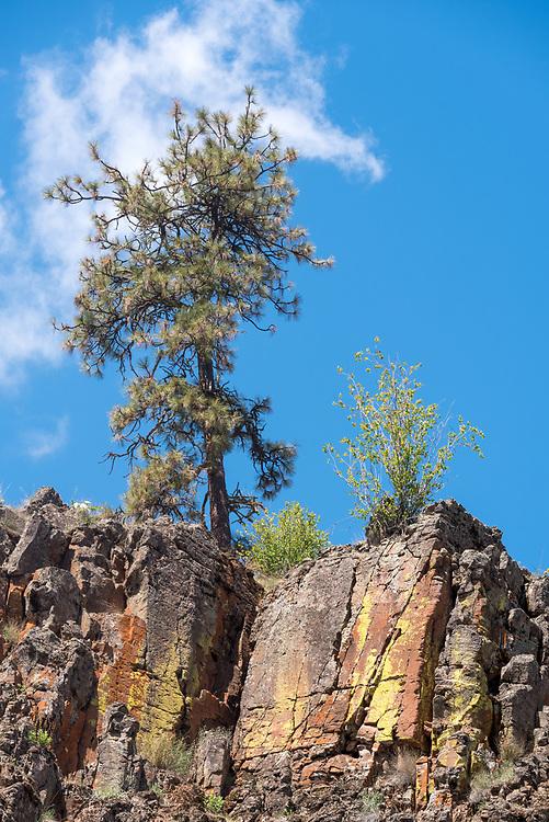 Ponderosa pine above basalt cliff, Wenaha River Canyon, Oregon.