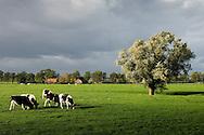 Nederland, Honswijk, 31 okt 2006<br /> Polder acher de rivierdijk met wilg en koeien in de weide. Mooi hard licht en grijze wolkenlucht.<br /> landschap<br /> Foto: (c) Michiel Wijnbergh
