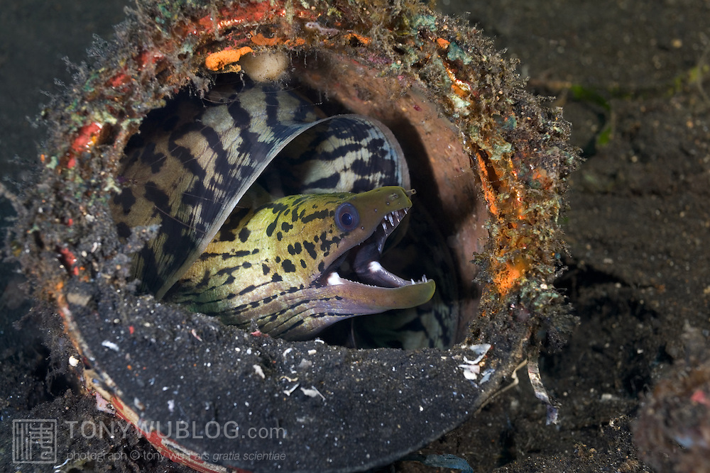 Fimbriated moray eel (Gymnothorax fimbriatus) curled up in discarded paint can in the muck of Lembeh Strait, North Sulawesi, Indonesia