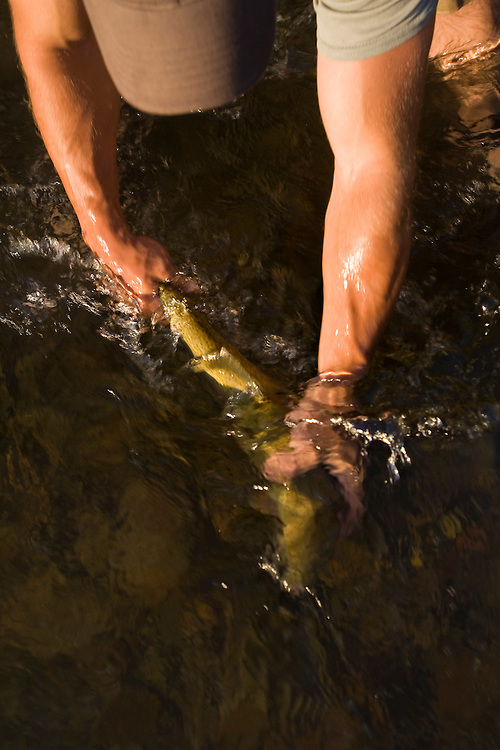 A fly fisherman releases a large rainbow trout while fly fishing for trout on the Blackfoot River in Montana.