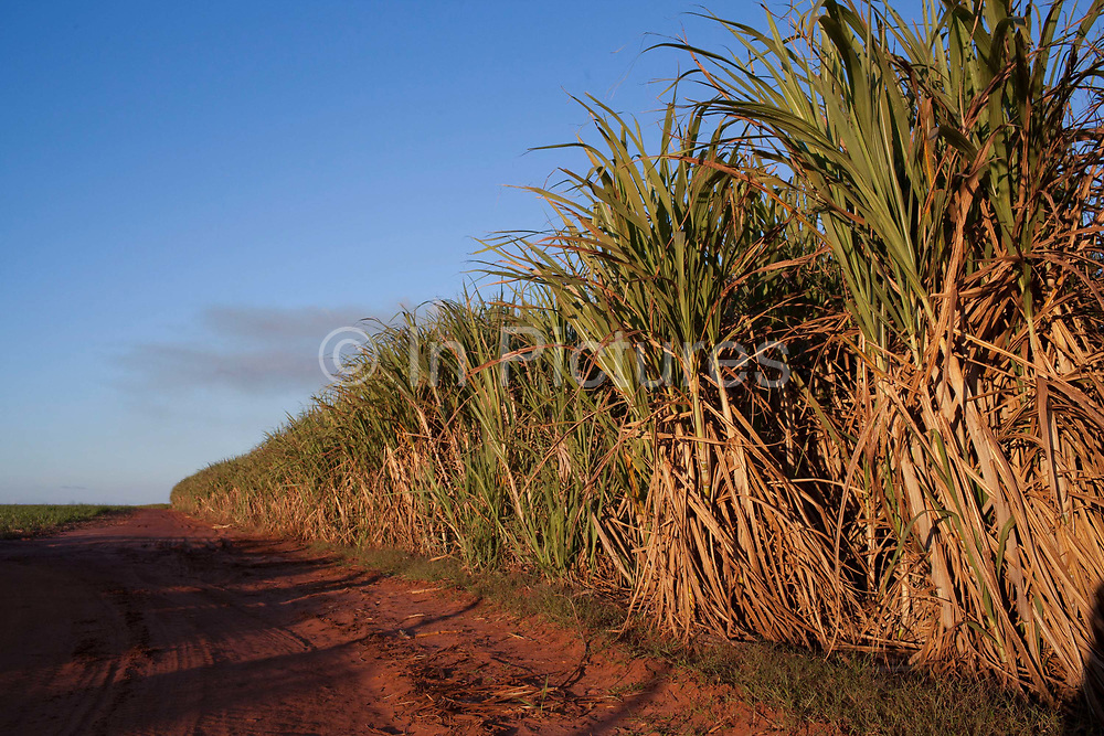 Sugarcane plants crops at sunset next to a dirt road. Brazil is the largest producer of Sugar and Beef, then second for Soya and third for Maize. Many of the farms are in the state of Mato Grosso and Mato Grosso do Sul, they are often enournmous, stretching for miles kilometres. A lot of the crops are processed on site and kept in large warehouses or silos.
