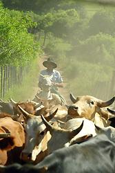 Tropa de Bois na fazenda Santa Helena,  em Encruzilhada do Sul.FOTO: Jefferson Bernardes / Preview.com