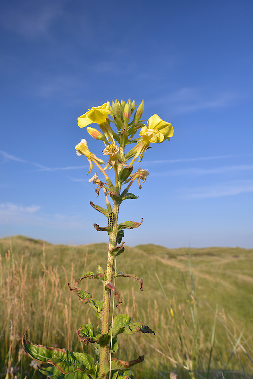 Evening-primrose - Oenothera biennis at Kenfig Nature Reserve, South Wales