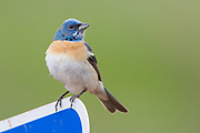 Stock photo of Lazuli bunting captured in Colorado. Males are very easily seen in the summer, singing out in the open. The females are more elusive as they tend to their nests in thick bushes.