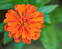 Wet Orange Zinnia Flower. Image taken with a Fuji X-H1 camera and 80 mm f/2.8 OIS macro lens