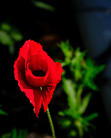 Red Oriental Poppy. Image taken with a Fuji X-T3 camera and 80 mm f/2.8 OIS macro lens (ISO 160, 80 mm, f/5.6, 1/420 sec).