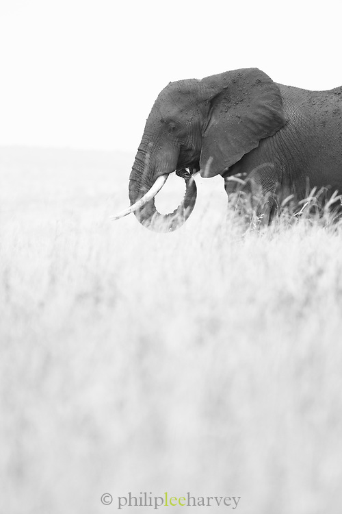 Black and white nature photograph with side view of an African elephant (Loxodonta africana) among grass in Tarangire National Park, Tanzania