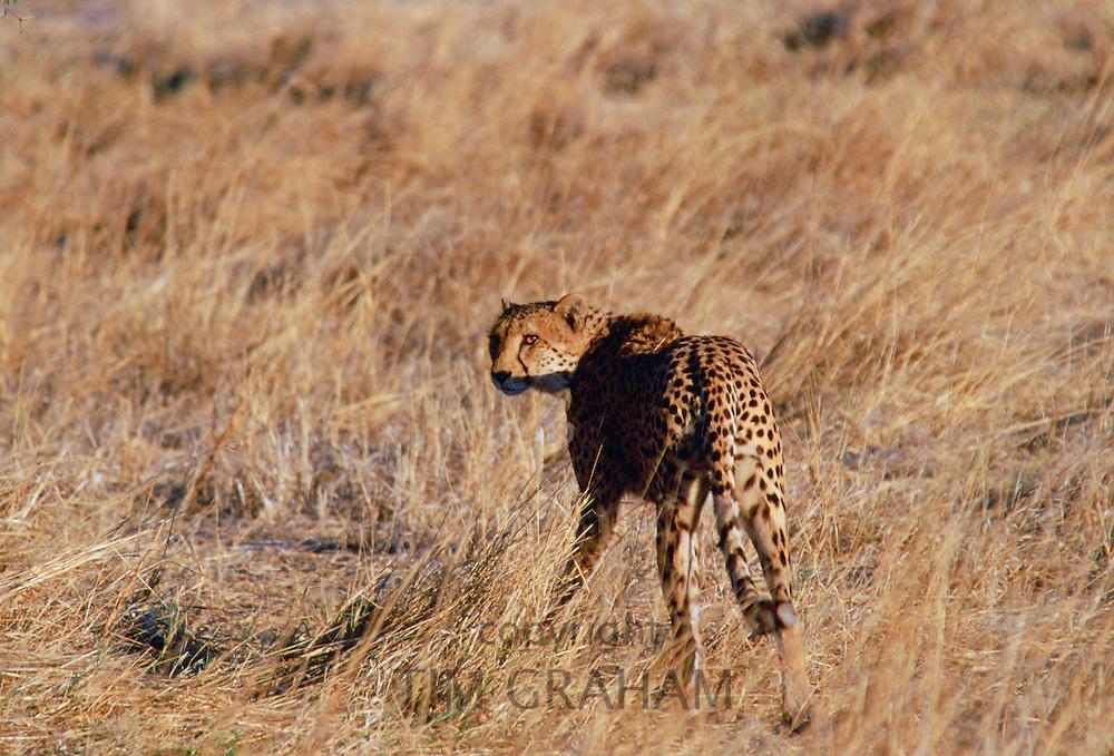 Cheetah  in Moremi National Park , Botswana
