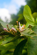 Orange blossom on a tree in a garden